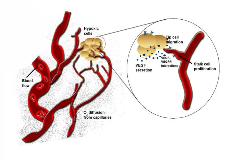 How Blood Vessels Regroup After Stroke