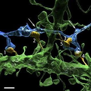 one axon (blue) innervates 5 dendritic spines (orange, labeled 1–5)