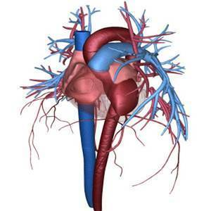 The Heart Circulatory System