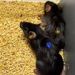 flexible implants trigger pain signals in mouse models