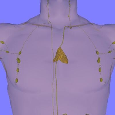 Photo: Anterior view of chest showing location and size of adult thymus (Source: https://commons.wikimedia.org/wiki/Main_Page)