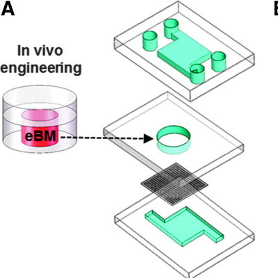 Bone marrow-on-a-chip microdevice. eBM that is formed in a PDMS device in vivo is placed into a similar shaped central chamber of a microfluidic system for in vitro perfusion culture. Middle, bone marrow-on-a-chip microdevice used to culture the eBM in vi