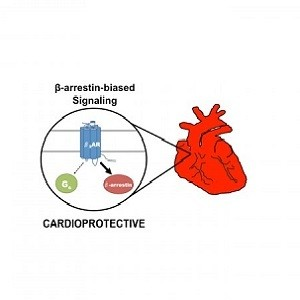 Selective activation of the beta2-adrenergic receptor (beta2AR) by a beta-arrestin-biased pepducin promotes activation of a beta-arrestin signaling pathway that is cardioprotective.