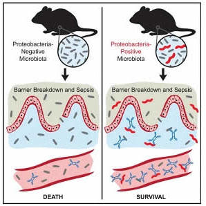 This visual abstract depicts the findings of Wilmore et al., who demonstrate a role for serum IgA in protection against polymicrobial sepsis. Induction of protective concentrations of T cell dependent serum IgA requires colonization of the gut with a comp